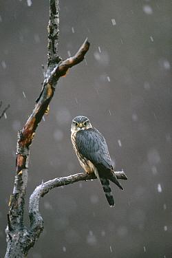 Merlin (Falco columbarius) perching in tree during snowfall, spring, Alaska  -  Michael Quinton