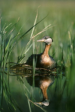 Red-necked Grebe (Podiceps grisegena) parent incubating eggs on nest made of reeds in summer, Idaho  -  Michael Quinton