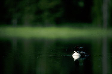 Common Loon (Gavia immer) adult on a placid lake in the summer, Wyoming  -  Michael Quinton