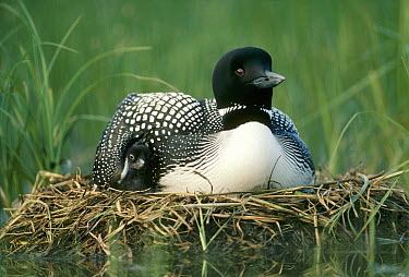 Common Loon (Gavia immer) parent on nest with one day old chick in the summer, Wyoming  -  Michael Quinton