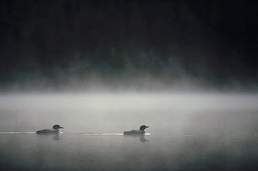 Common Loon (Gavia immer) pair on misty lake in the spring, Wyoming  -  Michael Quinton
