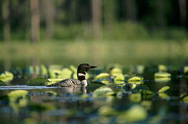 Common Loon (Gavia immer) adult amid lily pads in lake in the summer, Wyoming  -  Michael Quinton