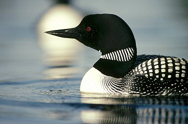 Common Loon (Gavia immer) adult on lake in the summer, Wyoming  -  Michael Quinton