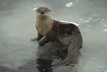 North American River Otter (Lontra canadensis) on iced over river, Yellowstone National Park, Wyoming