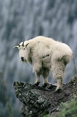 Mountain Goat (Oreamnos americanus) portrait, Glacier National Park, Montana  -  Michael Quinton
