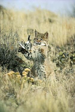 Bobcat (Lynx rufus) juvenile playing with captured Horned Lark (Eremophila alpestris) spring, Idaho  -  Michael Quinton