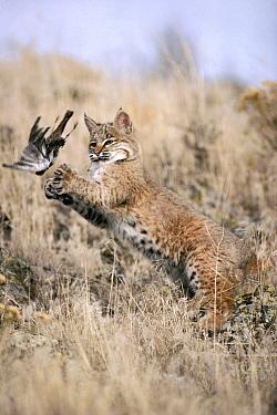Bobcat (Lynx rufus) juvenile playing with captured Horned Lark (Eremophila alpestris) in the spring, Idaho  -  Michael Quinton