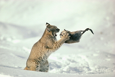 Bobcat (Lynx rufus) fighting with Muskrat (Ondatra zibethicus) in winter, Idaho. Sequence 1 of 4