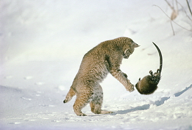 Bobcat (Lynx rufus) fighting with Muskrat (Ondatra zibethicus) in winter, Idaho. Sequence 2 of 4