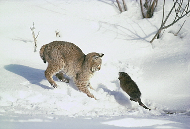 Bobcat (Lynx rufus) hunting Muskrat (Ondatra zibethicus) in winter, Idaho. Sequence 3 of 4