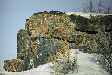 Bobcat (Lynx rufus) adult camouflaged on rocks in the winter, Idaho  -  Michael Quinton