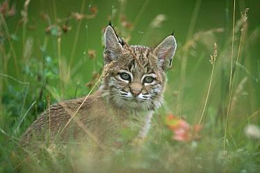 Bobcat (Lynx rufus) kitten in tall spring grass, Idaho  -  Michael Quinton