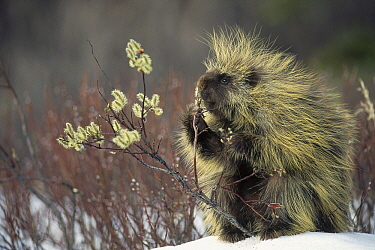 Common Porcupine (Erethizon dorsatum) feeding on Pussy Willow (Salix discolor) in spring, Alaska
