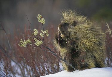 Common Porcupine (Erethizon dorsatum) feeding on Pussy Willow (Salix discolor) in spring, Alaska