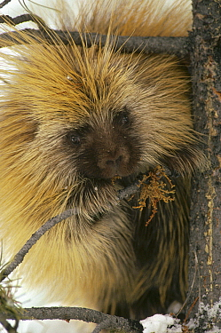 Common Porcupine (Erethizon dorsatum) feeding on Mistletoe (Phoradendron serotinum) in winter, Island Park, Idaho