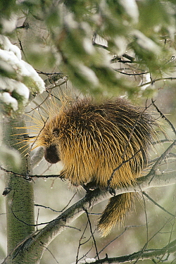 Common Porcupine (Erethizon dorsatum) sitting in a tree in winter, Yellowstone National Park, Wyoming