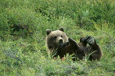 Grizzly Bear (Ursus arctos horribilis) cub rolling on his back in the summer, Denali National Park and Preserve, Alaska  -  Michael Quinton