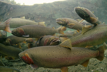 Cutthroat Trout (Oncorhynchus clarki) group in spring, Henry's Lake, Idaho