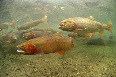 Cutthroat Trout (Oncorhynchus clarki) group in spring, Idaho