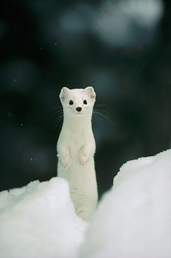 Long-tailed Weasel (Mustela frenata) camouflaged in white winter coat, Idaho