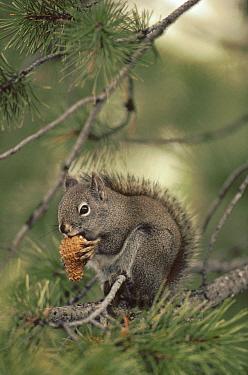 Red Squirrel (Tamiasciurus hudsonicus) feeding on Lodgepole Pine (Pinus contorta) pinecone in the fall, Idaho  -  Michael Quinton