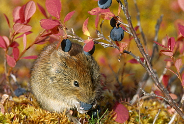 Northern Red-backed Vole (Clethrionomys rutilus) feeding on berries in fall, Alaska