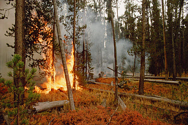 Yellowstone fire, burning forest, Yellowstone National Park, Wyoming  -  Michael Quinton