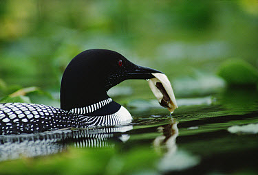Common Loon (Gavia immer) adult carries the egg membrane of its recently hatched chick to drop into deep water, Wyoming  -  Michael Quinton