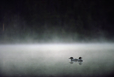 Common Loon (Gavia immer) mated couple on a misty lake, Wyoming  -  Michael Quinton
