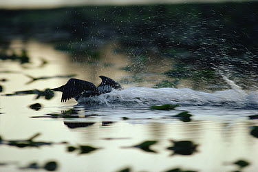 Common Loon (Gavia immer) adult streaking across the water in a territorial display, Wyoming  -  Michael Quinton