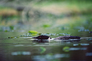 Common Loon (Gavia immer) adult swimming at the water surface while guarding its territory, Wyoming  -  Michael Quinton
