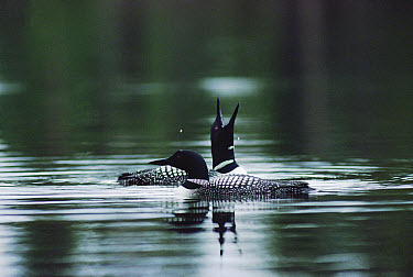Common Loon (Gavia immer) mated couple taking a tranquil swim before nesting, Wyoming  -  Michael Quinton