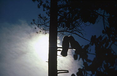 Great Gray Owl (Strix nebulosa) mated couple silhouetted in a tree, Idaho  -  Michael Quinton