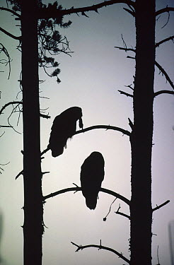 Great Gray Owl (Strix nebulosa) pair silhouetted in tree with captured Northern Pocket Gopher (Thomomys talpoides), Idaho  -  Michael Quinton