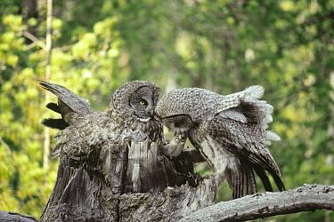 Great Gray Owl (Strix nebulosa) pair on nest, male with Northern Pocket Gopher (Thomomys talpoides), Idaho  -  Michael Quinton