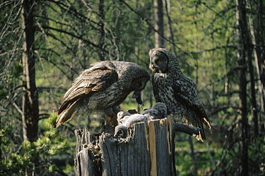 Great Gray Owl (Strix nebulosa) female feeding rodent to chicks while male watches, Idaho  -  Michael Quinton