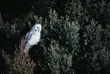 Great Gray Owl (Strix nebulosa) in blonde phase perching in tree, Idaho  -  Michael Quinton