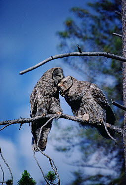 Great Gray Owl (Strix nebulosa) couple allopreening during courtship, Idaho  -  Michael Quinton