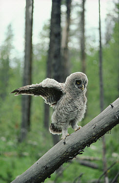 Great Gray Owl (Strix nebulosa) five week old chick climbs fallen branches to perch high in trees, Idaho  -  Michael Quinton