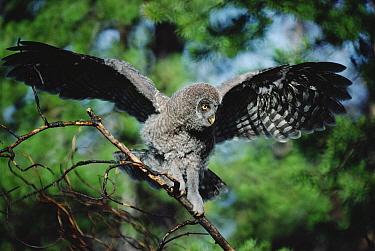 Great Gray Owl (Strix nebulosa) young bird balancing on tree branch, Idaho  -  Michael Quinton