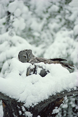 Great Gray Owl (Strix nebulosa) parent incubating eggs on nest while covered with snow, Idaho  -  Michael Quinton