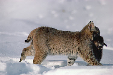 Bobcat (Lynx rufus) carrying dead Muskrat (Ondatra zibethicus) prey in winter, Idaho. Sequence 4 of 4  -  Michael Quinton