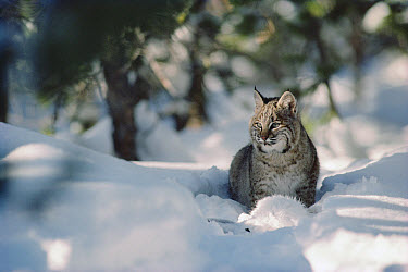 Bobcat (Lynx rufus) adult resting in snow in the winter, Idaho  -  Michael Quinton