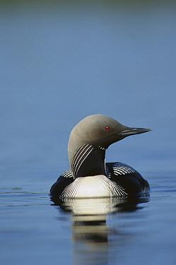 Pacific Loon (Gavia pacifica) on lake, North America
