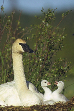 Trumpeter Swan (Cygnus buccinator) parent and squabbling day-old cygnets, North America