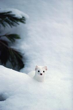 Long-tailed Weasel (Mustela frenata) in burrow, North America  -  Michael Quinton