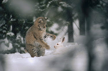 Bobcat (Lynx rufus) hunting a Snowshoe Hare (Lepus americanus) in the winter, North America  -  Michael Quinton