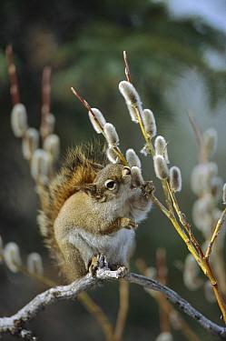 Red Squirrel (Tamiasciurus hudsonicus) feeding on willow catkins, Alaska  -  Michael Quinton