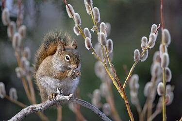 Red Squirrel (Tamiasciurus hudsonicus) feeding on spring pussy willow, boreal forest, Alaska  -  Michael Quinton
