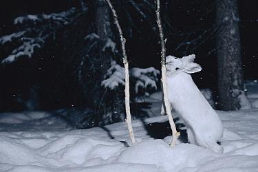 Snowshoe Hare (Lepus americanus) gnawing tender bark off of sapling in the winter, Alaska  -  Michael Quinton